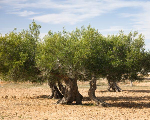 Tunisian Extra Virgin Olive Oil, 375ml Case Pack 12 Bottles.