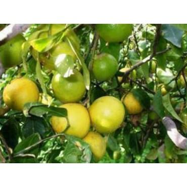 Bergamot Lemon Dark Balsamic Vinegar, WITH LABELS Case of 12 375mL Bottles