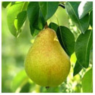Pear Dark Balsamic Vinegar, WITH LABELS Case of 12 375mL Bottles